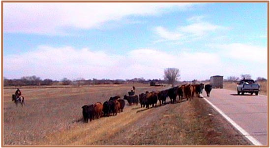 cattle-drive-along-us-136bi.jpg